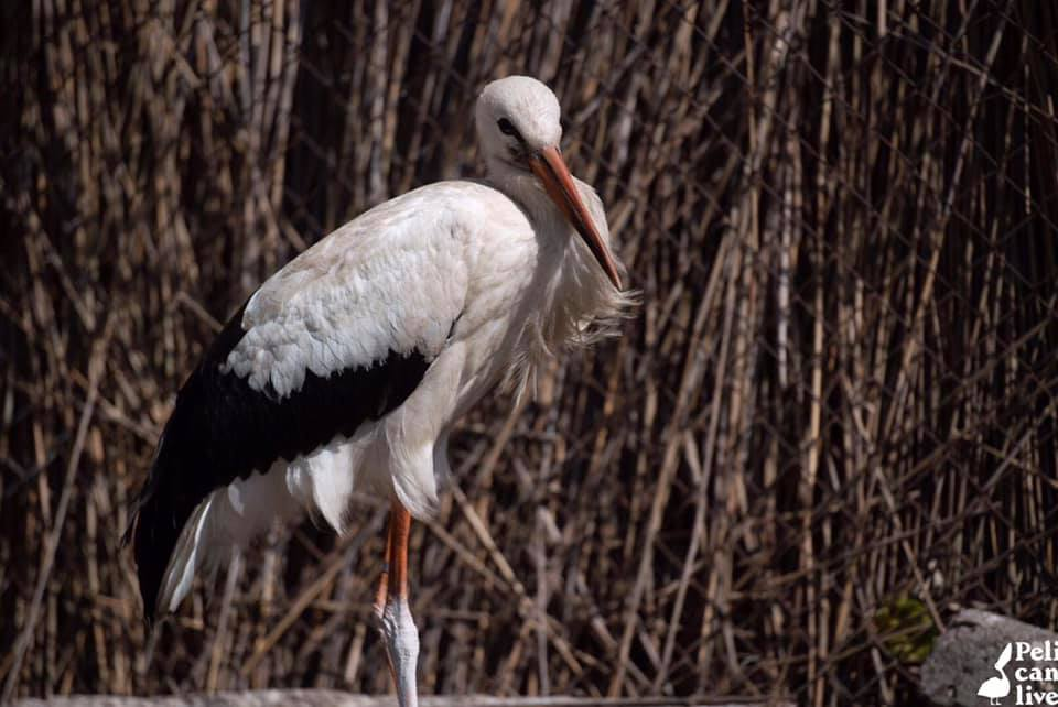 History of rescued pelicans